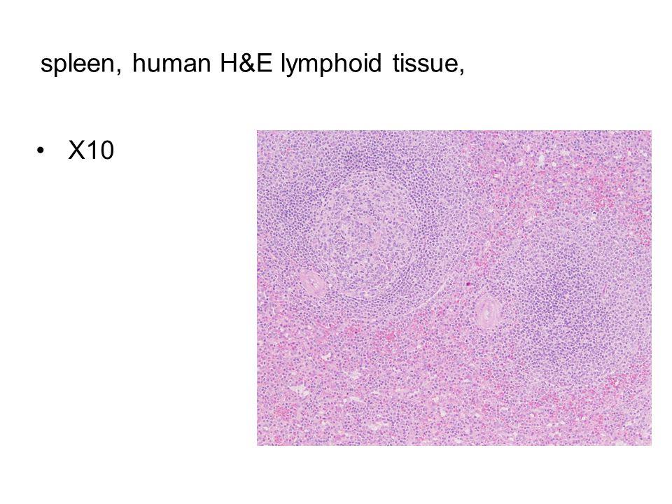 spleen, human H&E lymphoid tissue, X10