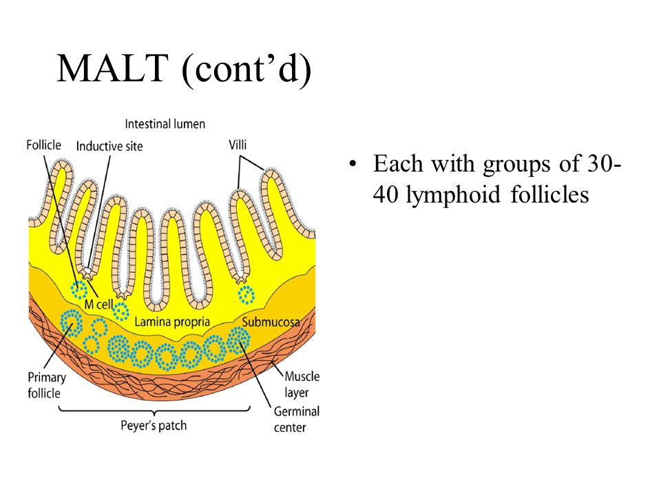 MALT (cont'd) Each with groups of 30- 40 lymphoid follicles