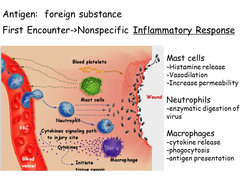 Antigen: foreign substance First Encounter->Nonspecific Inflammatory Response Mast cells -Histamine release -Vasodilation -Increase permeability Neutrophils -enzymatic digestion of virus Macrophages -cytokine release -phagocytosis -antigen presentation