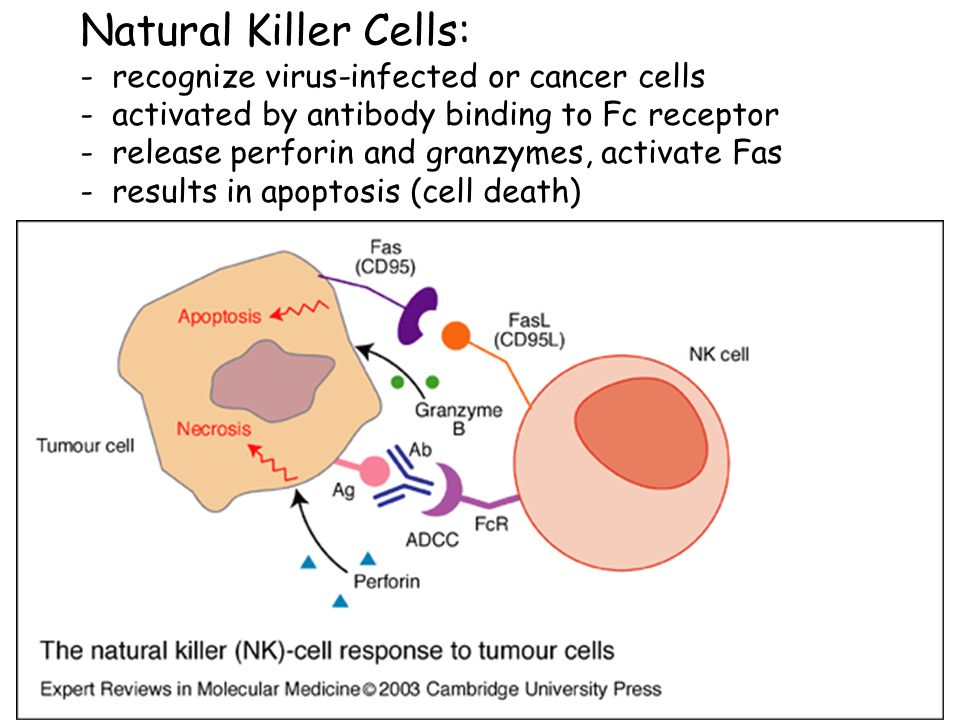 Natural Killer Cells: - recognize virus-infected or cancer cells - activated by antibody binding to Fc receptor - release perforin and granzymes, activate Fas - results in apoptosis (cell death)