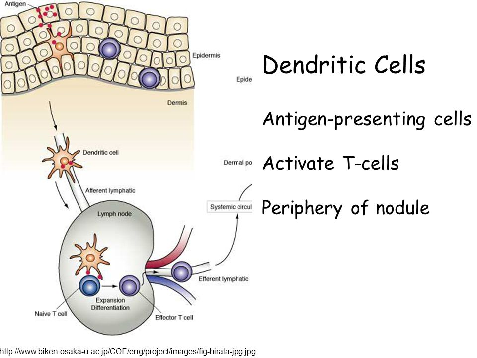 Dendritic Cells Antigen-presenting cells Activate T-cells Periphery of nodule http://www.biken.osaka-u.ac.jp/COE/eng/project/images/fig-hirata-jpg.jpg