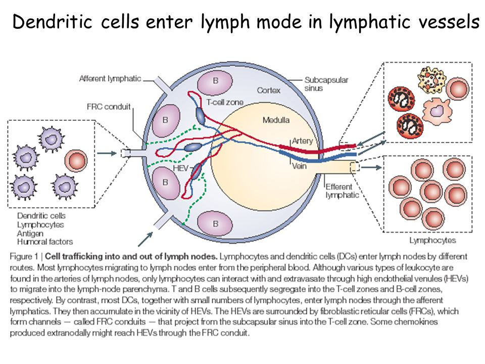 Dendritic cells enter lymph mode in lymphatic vessels