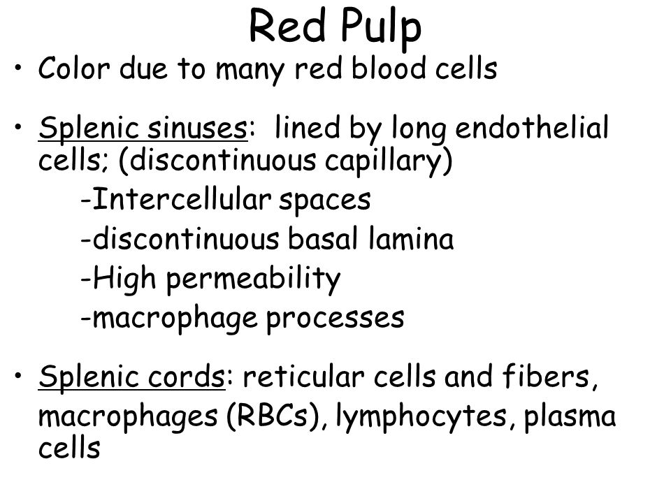Red Pulp Color due to many red blood cells Splenic sinuses: lined by long endothelial cells; (discontinuous capillary) -Intercellular spaces -discontinuous basal lamina -High permeability -macrophage processes Splenic cords: reticular cells and fibers, macrophages (RBCs), lymphocytes, plasma cells