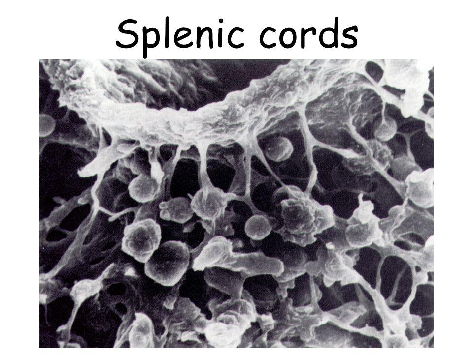 Splenic cords