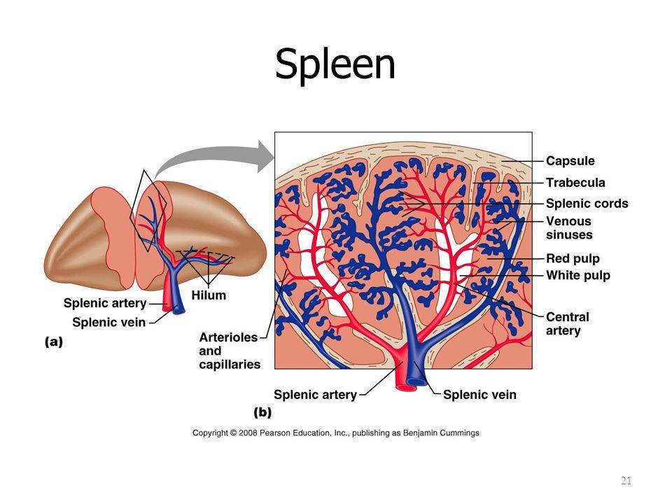 Spleen 21