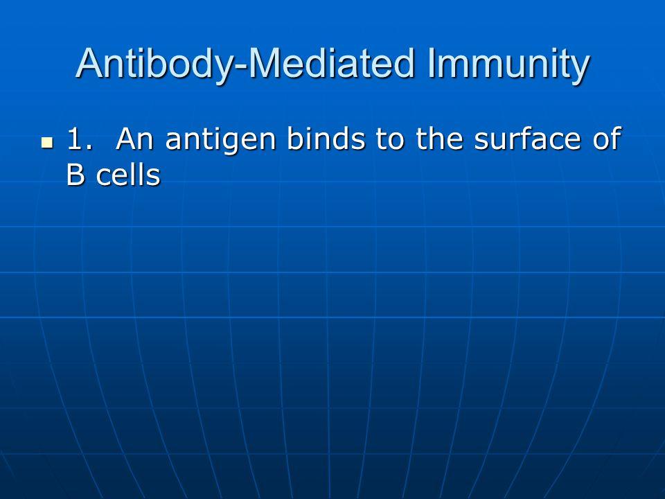 Antibody-Mediated Immunity 1. An antigen binds to the surface of B cells 1. An antigen binds to the surface of B cells