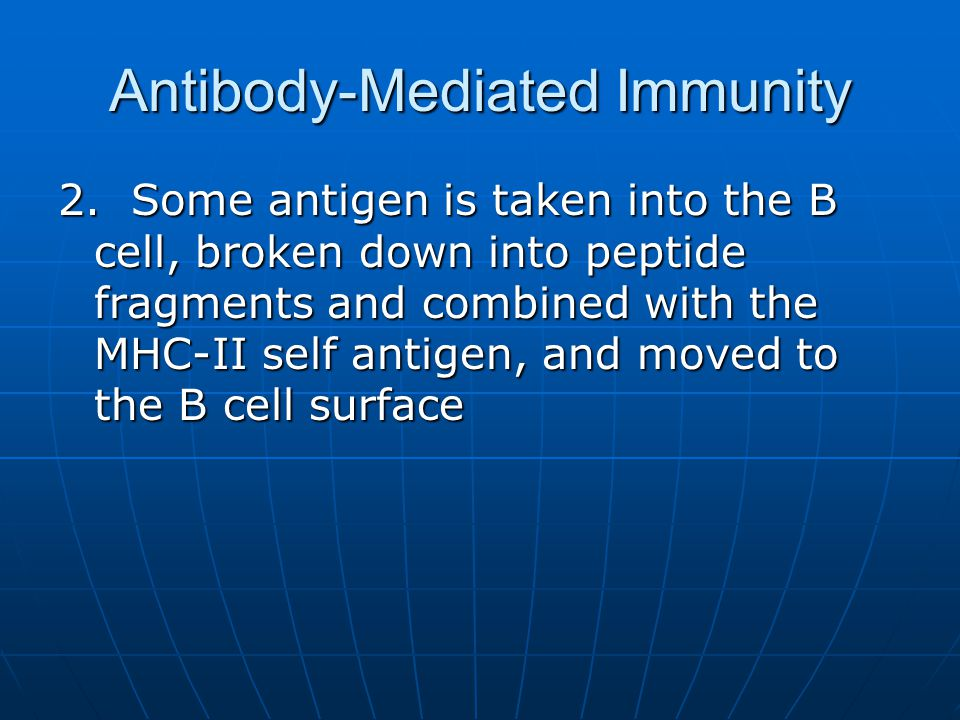 Antibody-Mediated Immunity 2. Some antigen is taken into the B cell, broken down into peptide fragments and combined with the MHC-II self antigen, and