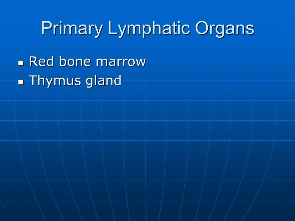 Primary Lymphatic Organs Red bone marrow Red bone marrow Thymus gland Thymus gland