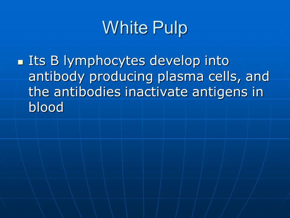 White Pulp Its B lymphocytes develop into antibody producing plasma cells, and the antibodies inactivate antigens in blood Its B lymphocytes develop i