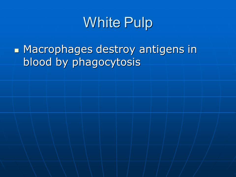 White Pulp Macrophages destroy antigens in blood by phagocytosis Macrophages destroy antigens in blood by phagocytosis