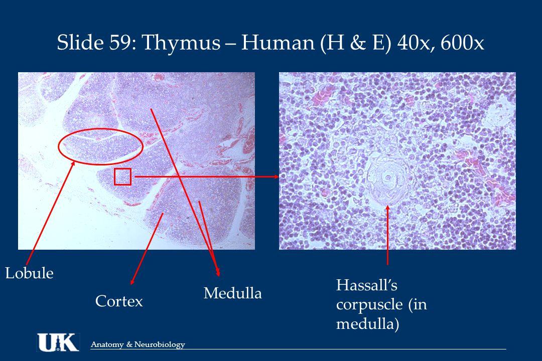 Anatomy & Neurobiology Slide 59: Thymus – Human (H & E) 40x, 600x Lobule Hassall's corpuscle (in medulla) Cortex Medulla