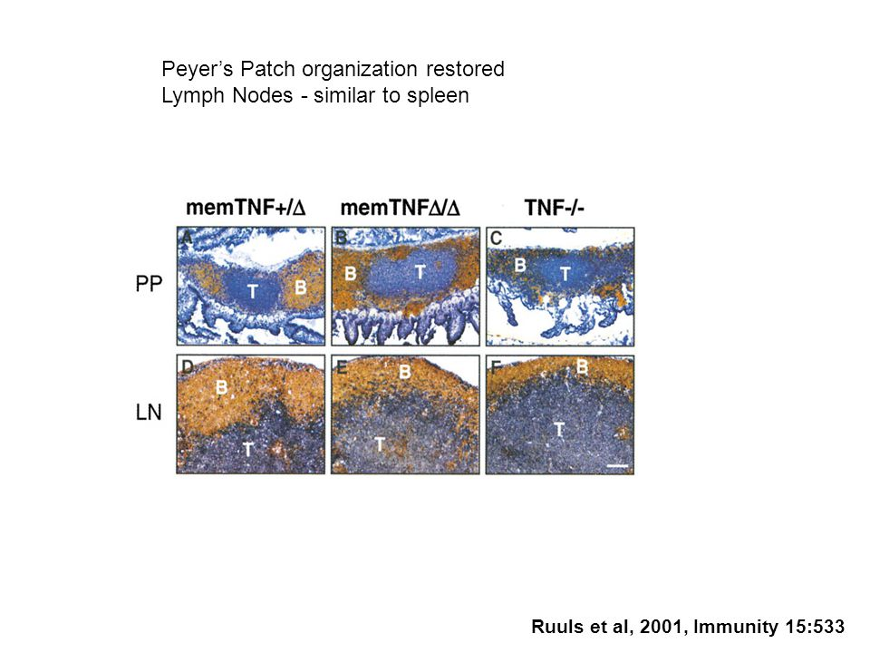 Peyer's Patch organization restored Lymph Nodes - similar to spleen Ruuls et al, 2001, Immunity 15:533