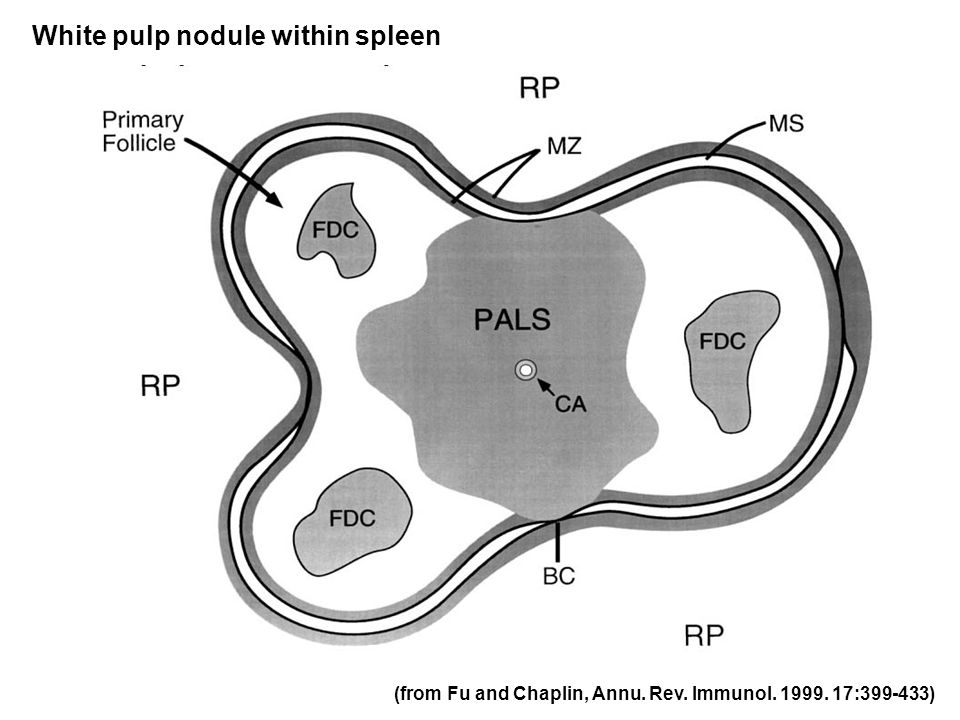 (from Fu and Chaplin, Annu. Rev. Immunol. 1999. 17:399-433) White pulp nodule within spleen
