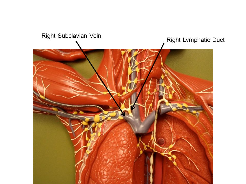 Right Lymphatic Duct Right Subclavian Vein