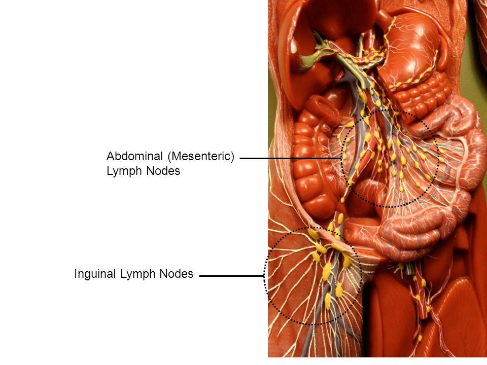Inguinal Lymph Nodes Abdominal (Mesenteric) Lymph Nodes
