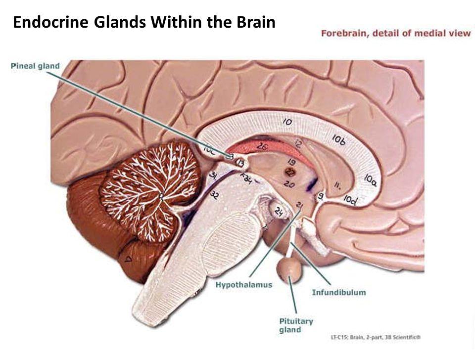 Pineal Gland Hypothalamus Pituitary Stalk Pituitary Gland -Anterior -Posterior