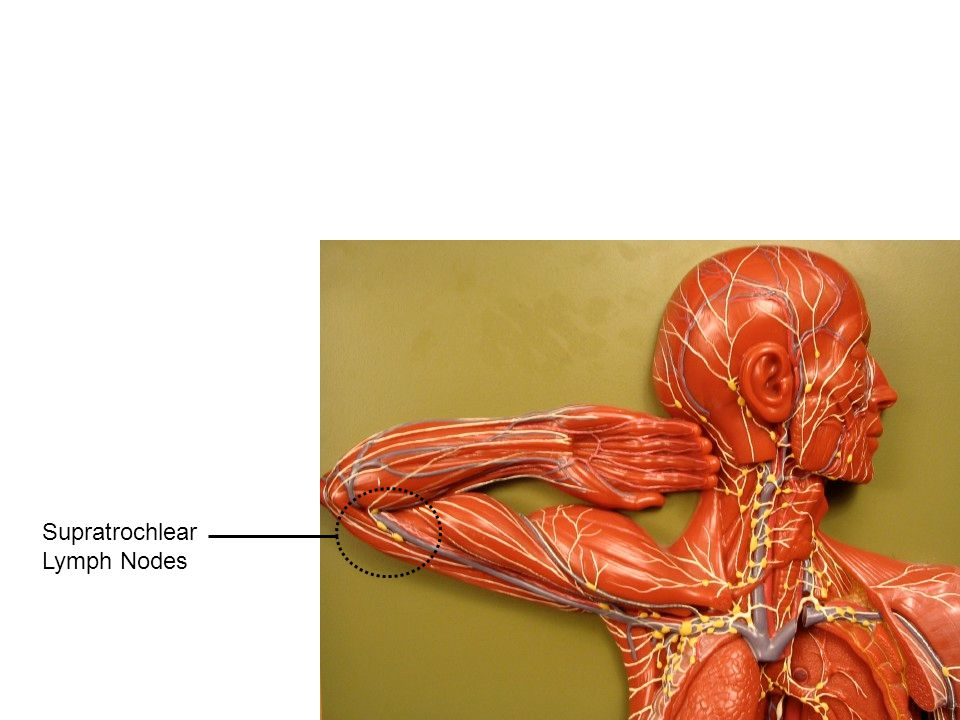 Supratrochlear Lymph Nodes
