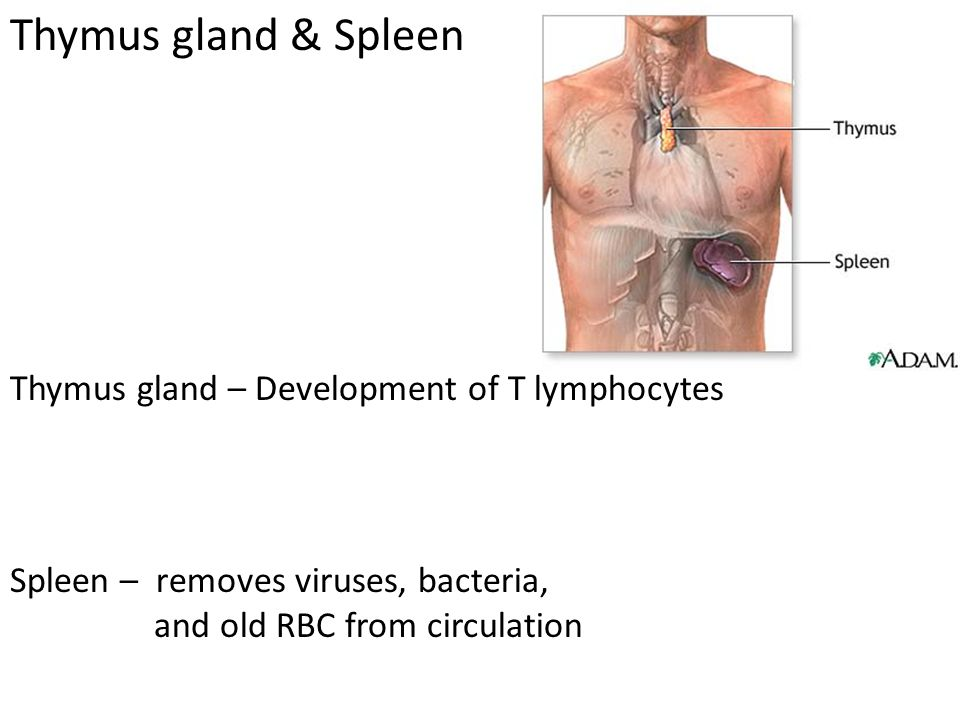Thymus gland & Spleen Thymus gland – Development of T lymphocytes Spleen – removes viruses, bacteria, and old RBC from circulation