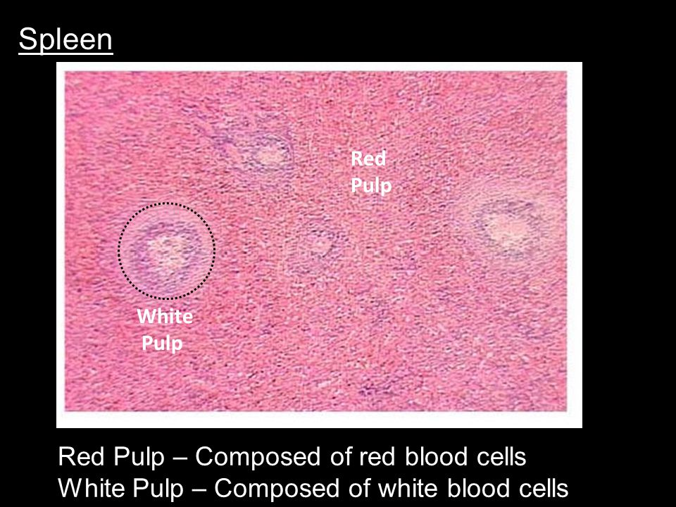 Spleen Red Pulp – Composed of red blood cells White Pulp – Composed of white blood cells White Pulp Red Pulp