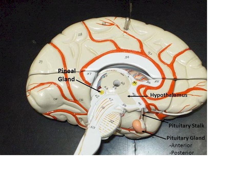 3. Sphenoid Bone Sella Turcica (Turkish Saddle) = Houses Pituitary gland