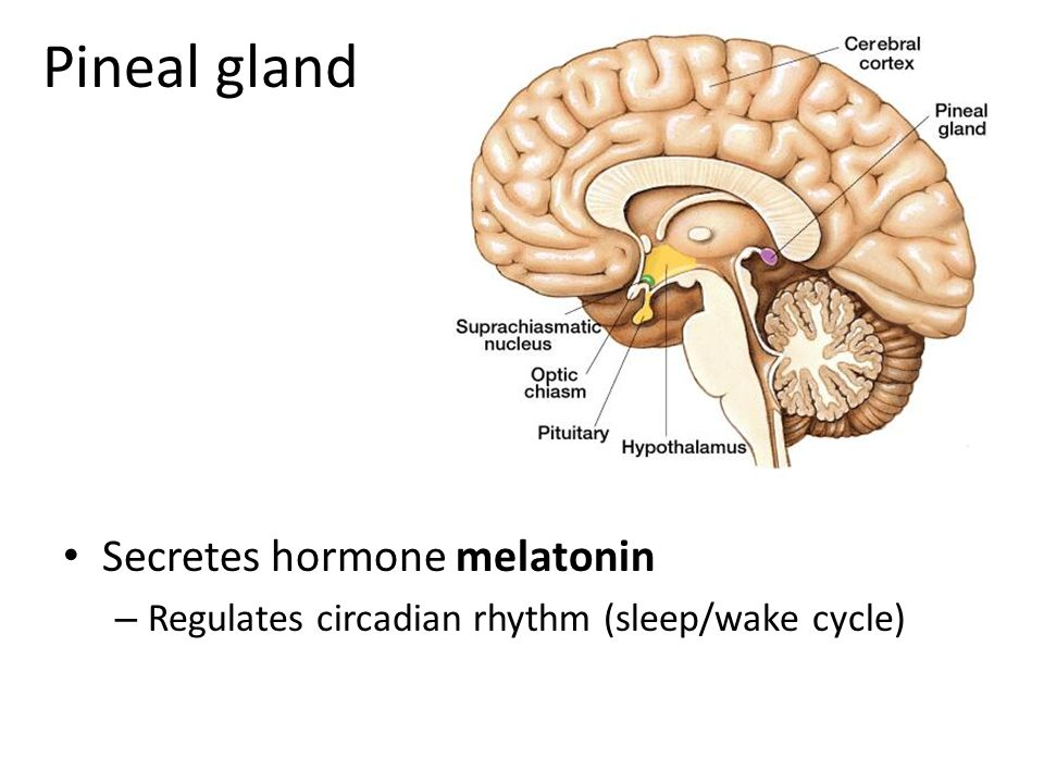 Pineal gland Secretes hormone melatonin – Regulates circadian rhythm (sleep/wake cycle)