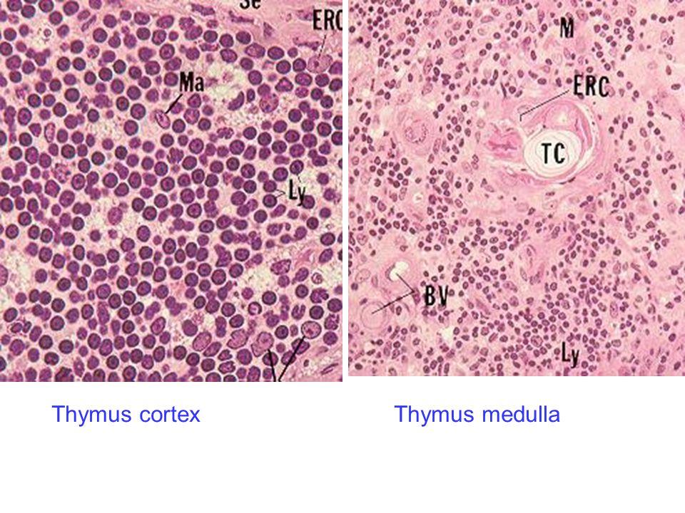 Thymus cortexThymus medulla