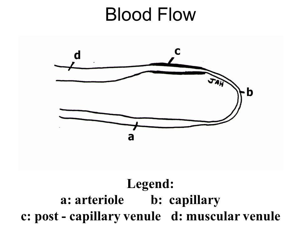 Blood Flow Legend: a: arterioleb: capillary c: post - capillary venuled: muscular venule