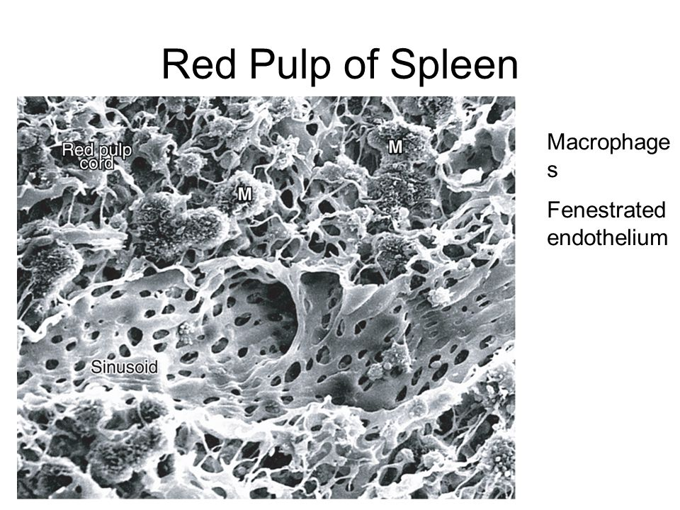 Red Pulp of Spleen Macrophage s Fenestrated endothelium