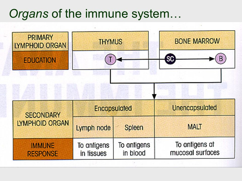 Organs of the immune system…