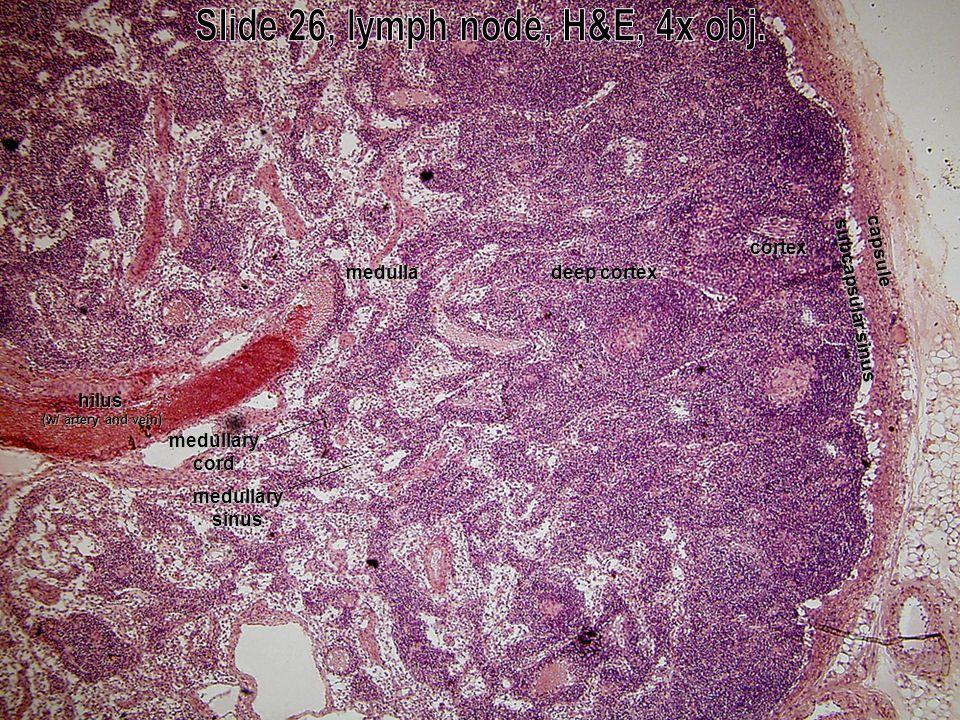 capsule subcapsular sinus cortex deep cortex deep cortexmedulla hilus (w/ artery and vein) medullarysinus medullarycord