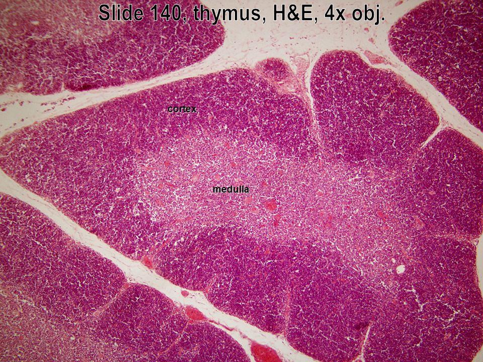 cortex medulla