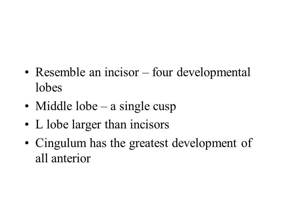 Resemble an incisor – four developmental lobes Middle lobe – a single cusp L lobe larger than incisors Cingulum has the greatest development of all an