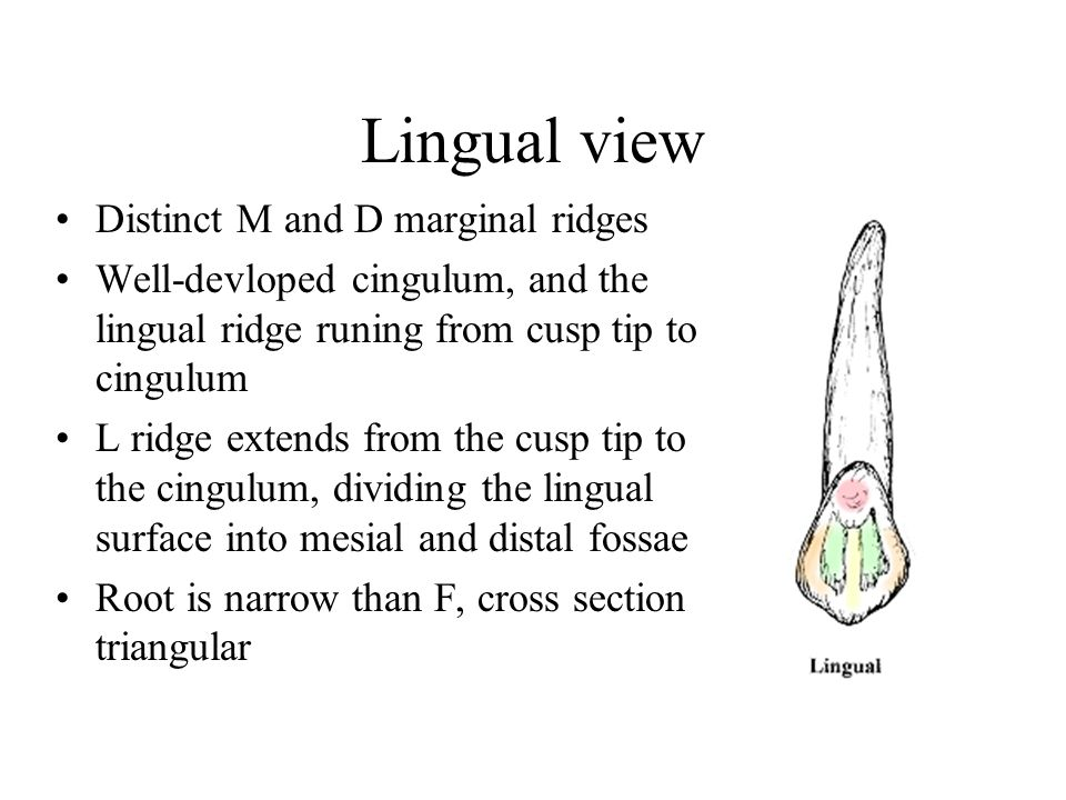 Lingual view Distinct M and D marginal ridges Well-devloped cingulum, and the lingual ridge runing from cusp tip to cingulum L ridge extends from the cusp tip to the cingulum, dividing the lingual surface into mesial and distal fossae Root is narrow than F, cross section triangular