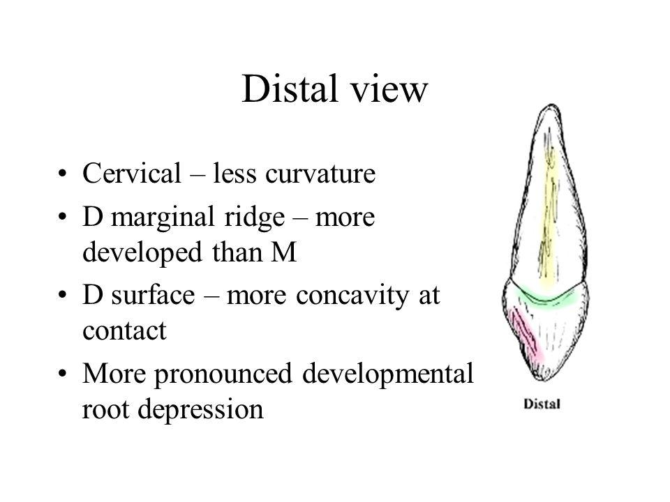 Distal view Cervical – less curvature D marginal ridge – more developed than M D surface – more concavity at contact More pronounced developmental roo