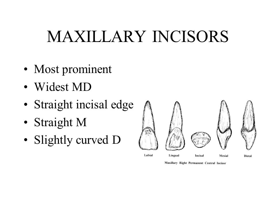 Labial view Convex at cervical portion of crown Mamelons – visible when fresh Development lines divide into 3 parts D rounded at contact Root – cone, blunt apex
