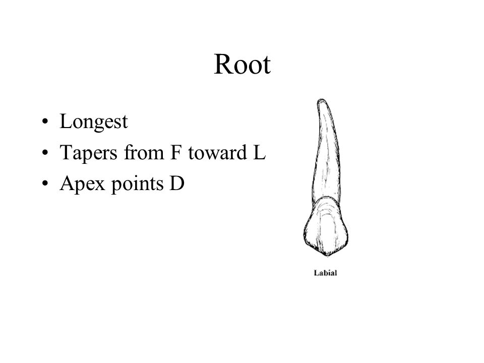 Root Longest Tapers from F toward L Apex points D