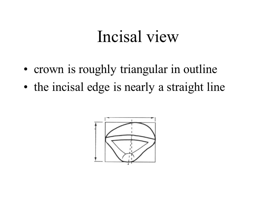 Incisal view crown is roughly triangular in outline the incisal edge is nearly a straight line