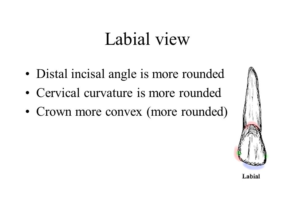 Incisal view thicker LF than MD tip of the cusp is displaced labially (F) Larger LF from any anterior teeth