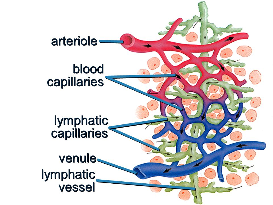 Lymphoid Tissue b b Houses and provides a proliferation site for lymphocytes b b Furnishes a surveillance vantage point b b Two main types Diffuse lymphatic tissue Lymphatic follicles