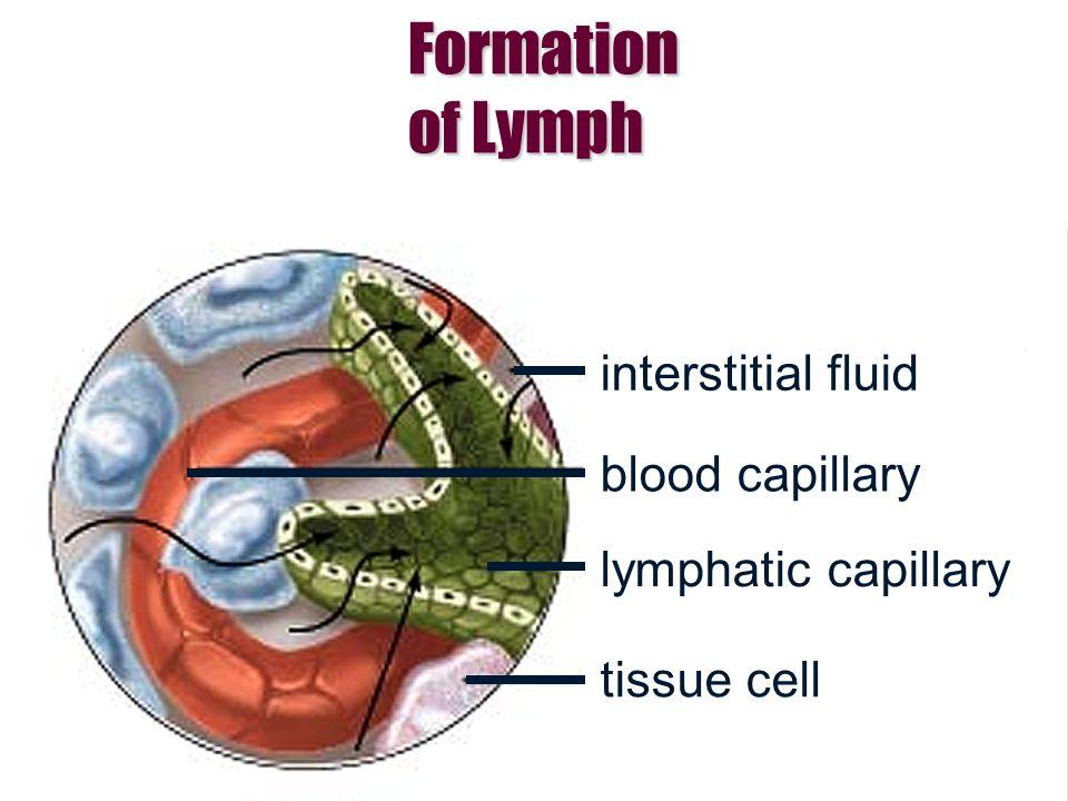 composed of: lymphoid cells lymphoid tissue Lymphoid Organs