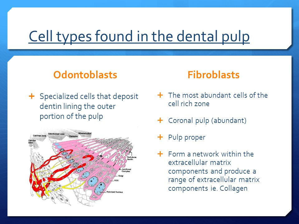 Cell types found in the dental pulp Odontoblasts  Specialized cells that deposit dentin lining the outer portion of the pulp Fibroblasts  The most abundant cells of the cell rich zone  Coronal pulp (abundant)  Pulp proper  Form a network within the extracellular matrix components and produce a range of extracellular matrix components ie.