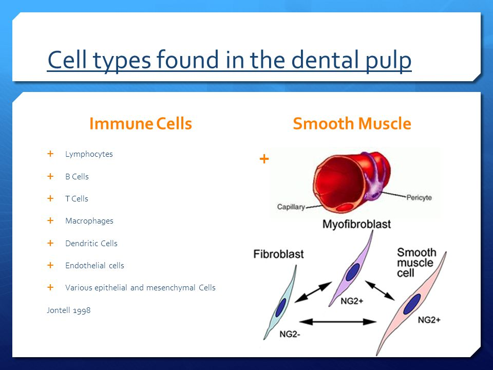 Cell types found in the dental pulp Immune Cells  Lymphocytes  B Cells  T Cells  Macrophages  Dendritic Cells  Endothelial cells  Various epithelial and mesenchymal Cells Jontell 1998 Smooth Muscle  Pericytes and myofibroblasts have been identified in mineralized human pulp culture.