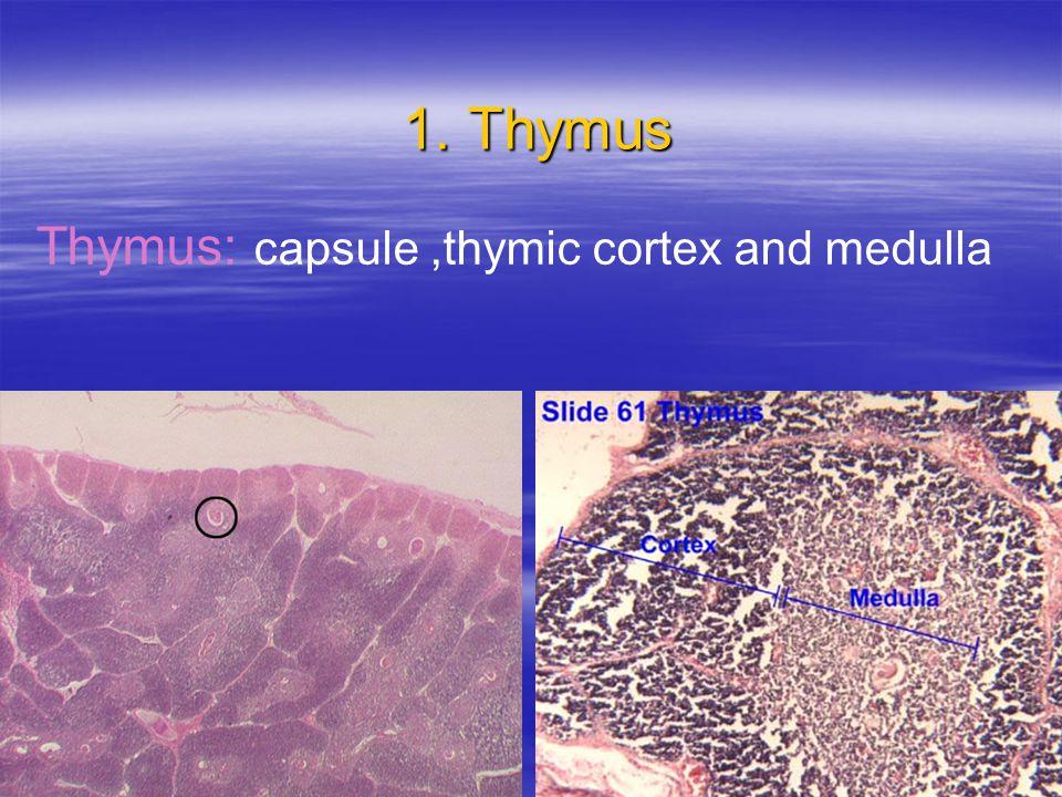 1. Thymus 1. Thymus Thymus: capsule,thymic cortex and medulla