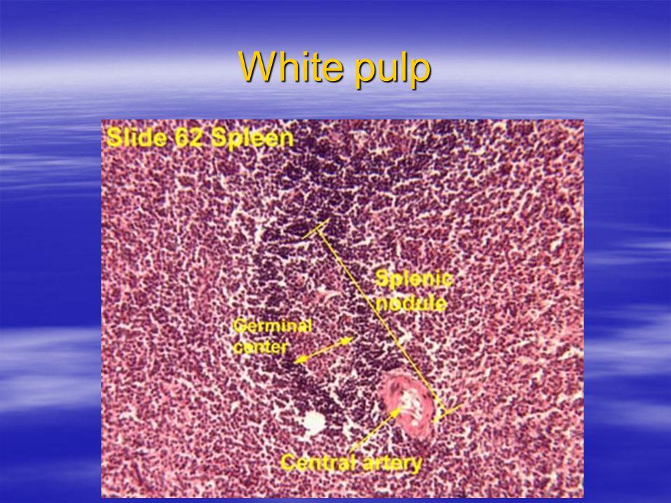 White pulp