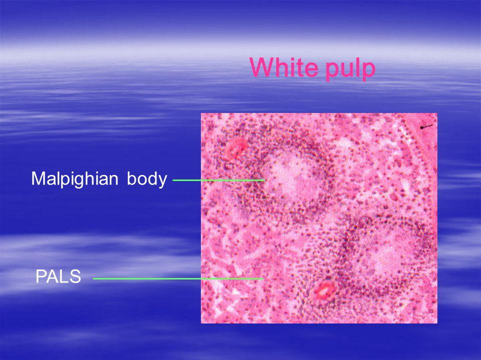 PALS White pulp Malpighian body