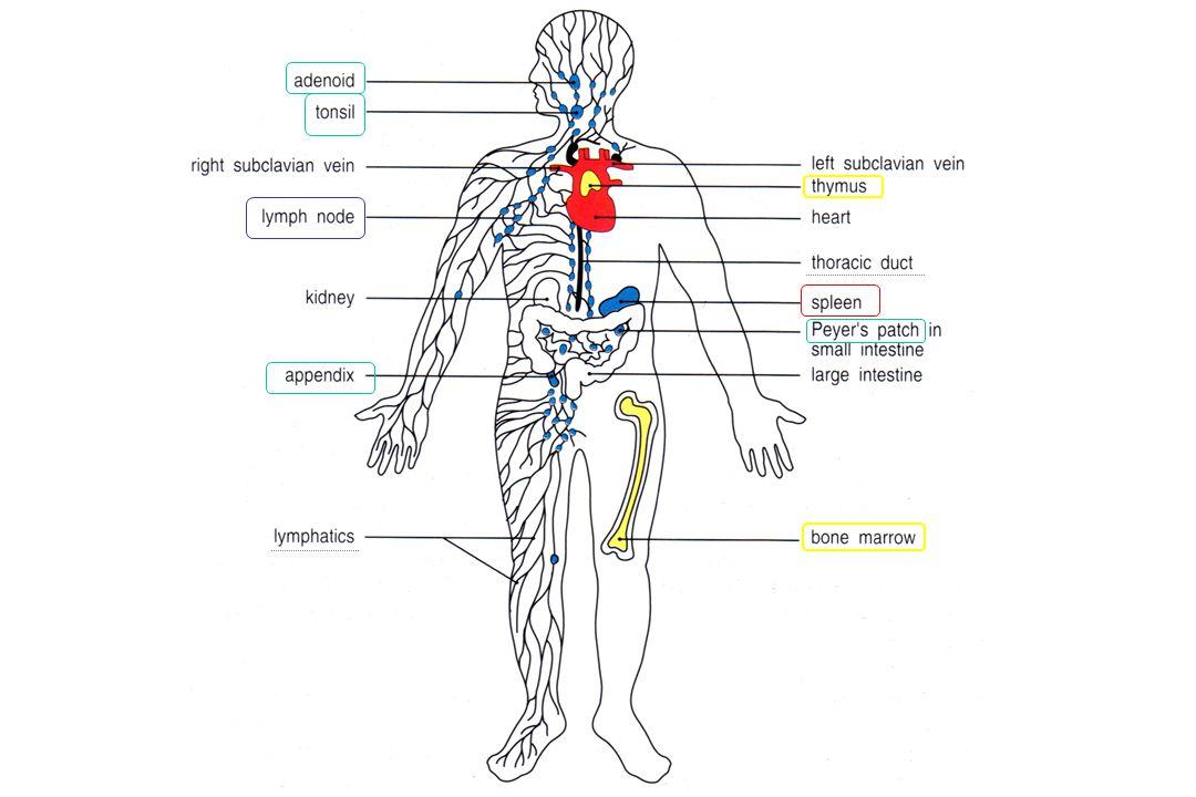Multistep Model of Lymphocyte Transmigration into Lymph Nodes