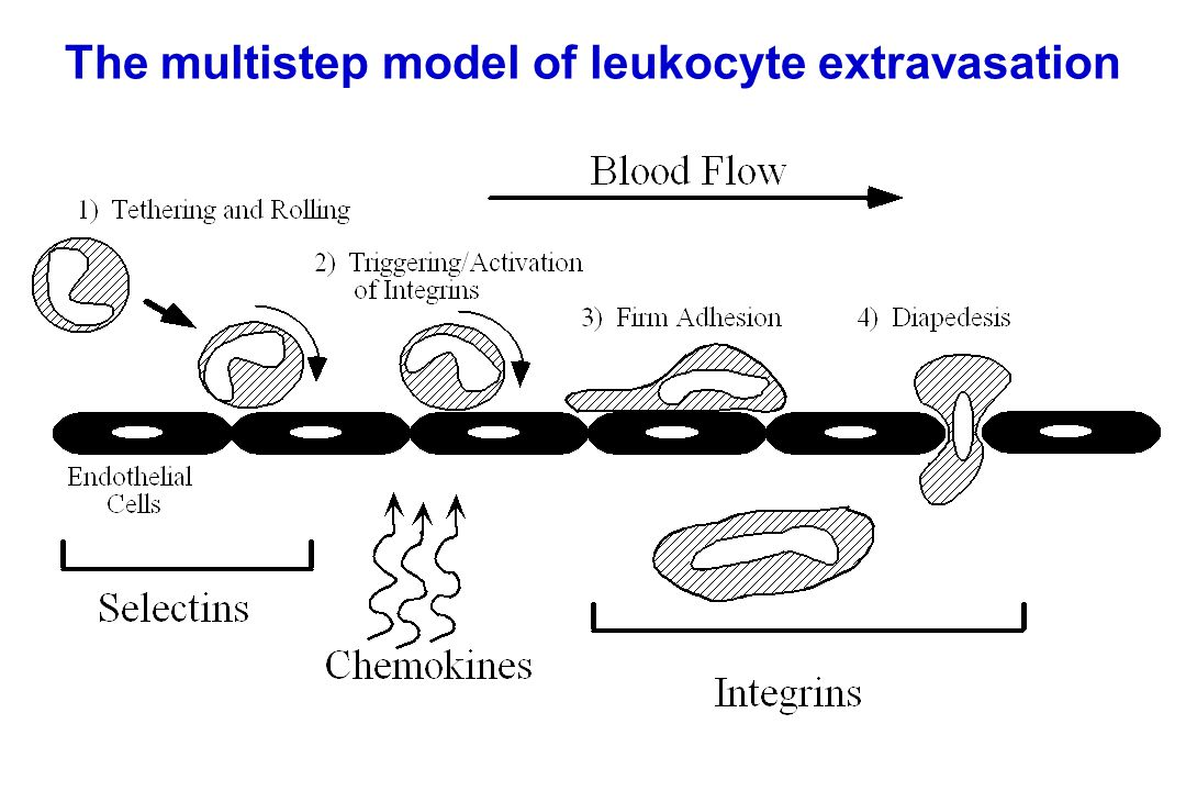 Lymph node egress occurs in response to a circulatory lipid (sphingosine-1-phosphate, S1P) MEDULLARY SINUSES Diagram courtesy of Ted Yednock -Lymphocytes express a receptor (S1PR1) for S1P - Egress involves migrating to S1P that is high in blood/lymph and low in the tissue S1P