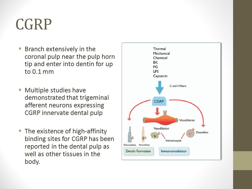 CGRP  Branch extensively in the coronal pulp near the pulp horn tip and enter into dentin for up to 0.1 mm  Multiple studies have demonstrated that trigeminal afferent neurons expressing CGRP innervate dental pulp  The existence of high-affinity binding sites for CGRP has been reported in the dental pulp as well as other tissues in the body.