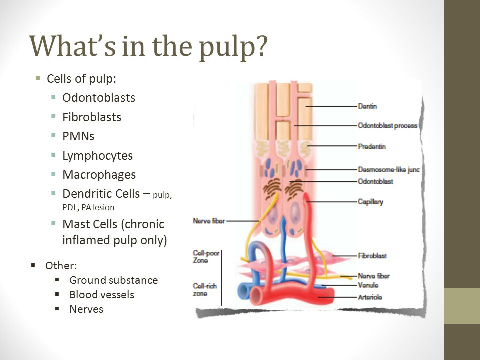 Substance P  In the central pulp, SP fibers traverse in close proximity to blood vessels.
