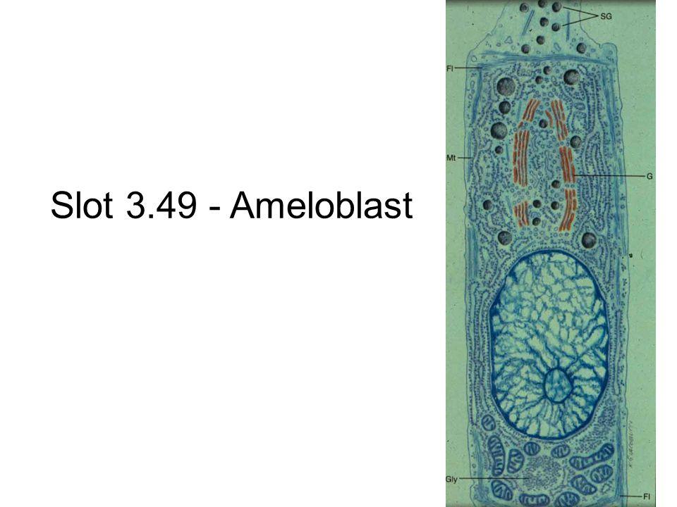 Slot 3.49 - Ameloblast